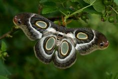 painted beauty (Batesia hypochlora) | Moth beauty potential (Epiphora mythimnia) by Olivier Bouteleux on ...