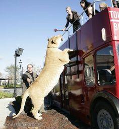 Liger, o maior felino do mundo
