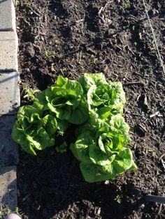 Huerto en casa: Como plantar y cultivar lechugas