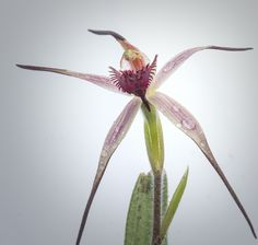 Tailed-Spider-Orchid: Caladenia caudata - Flickr - Photo Sharing!