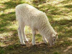 lamb sheep - Bing Imagens