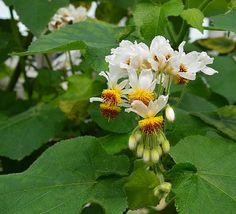 Den japanska trollhasseln blommade som bäst nu den 4 februari i Bergianska trädgården och lyser verkligen upp i en annars gråbruntråkig botanisk trädgård. Det tar ännu några månader innan mer…