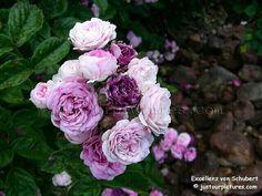 "Picture of a beautiful BLUE florabunda rose ""Excellenz von Schubert"
