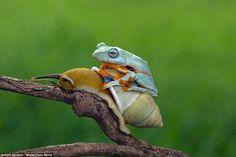 「カタツムリさん、ちょっと一休みさせてもらいますよ」ぴょこん・ぺたん・ぴったんこなタダ乗りカエル