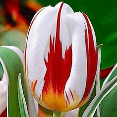 MAPLE LEAF TULIP   Behold the Canada 150 tulip, the official tulip of Canada's 150th anniversary at Meanwhile in Canada. The National Capital Commission partnered with the Netherlands to create this beautiful tulip with an elegant white bloom and red flames which bears a striking resemblance to our maple leaf flag. During the sesquicentennial celebrations in spring 2017, 300,000 tulips will be showcased in Ottawa's flower beds.