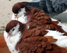 Red Lahore Pigeons | Flickr - Photo Sharing! Love Birds, Beautiful Birds, Animals Beautiful, Cute Animals, Sea Birds, Cute Creatures, Beautiful Creatures, Bird Pictures, Animal Pictures