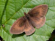 Meadow Brown, Maniola jurtina - Butterflies - NatureGate