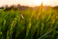 Dragonfly on the Rice.