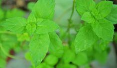 Jak využít mátu peprnou | rady a tipy Mojito, Herbs, Plants, Herb, Plant, Planets, Medicinal Plants