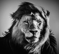 """A perfect mastery of black and white and a human emotion that we can read in each animal look, the series """"Africa"""" by Laurent Baheux started in 2002 during a trip in Tanzania. Since, he has travelled in the South of Africa, Kenya, Botswana, Namibia and many more regions."""