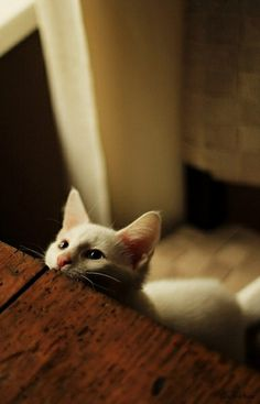 Hi from UK ♥♥animals:dogs,horses,cats(basically anything cute). Cool Cats, I Love Cats, Crazy Cats, Beautiful Cats, Animals Beautiful, Cute Animals, Wild Animals, Gatos Cats, Photo Chat