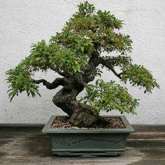 Indoor Bonsai Trees for Sale | japanese macro bonsai tree export ...