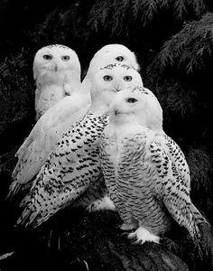 Famille de chouettes de neige. Magnifique!