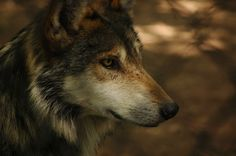 What's the best way to deal with America's wolf population, while also recognizing conservationism? Legal culling may not be the best answer.