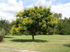 Tree option -  Golden Rain Tree (Koelreuteria paniculata)