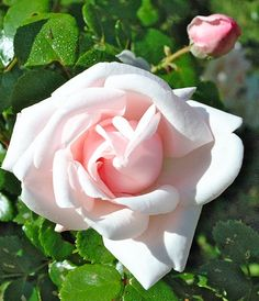 Dr Van Fleet rose