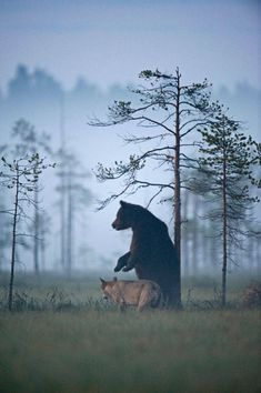http://www.fubiz.net/en/2015/08/27/friendship-between-wolf-and-bear-in-finland/