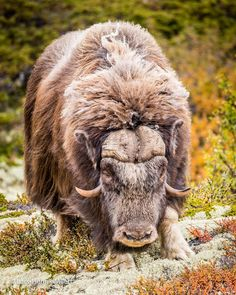 """The amazing Musk Ox - to meet this mammals on the """"Top of Norway"""" was an great experience. Exotic Pets, Exotic Animals, Musk Ox, Cow Art, Mundo Animal, Forest Animals, Cattle, Animal Drawings, Mammals"""