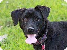 East Brunswick, NJ - Labrador Retriever/Jack Russell Terrier Mix. Meet Neva, a dog for adoption. http://www.adoptapet.com/pet/11688764-east-brunswick-new-jersey-labrador-retriever-mix