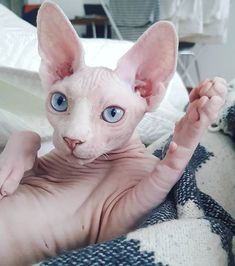 Cute Baby Animals, Animals And Pets, Wild Animals, Gato Sphinx, Cute Hairless Cat, Cat Allergies, Carnivore, Baby Otters, Animal Photography