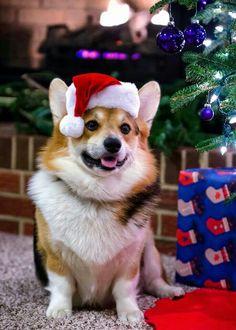 """""""I play Santa!"""" #dogs #pets #Corgis facebook.com/sodoggonefunny❤❣"""