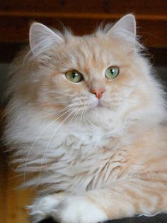 """Ravell is a German long-haired cat from the breed """"Gemangora"""" and has bred there great off I Love Cats, Cute Cats, Victorious Cat, Dog Calendar, Calendar 2020, Long Haired Cats, Cat Pose, Tier Fotos, Here Kitty Kitty"""