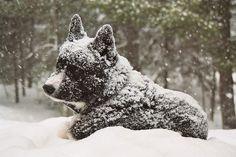 Karelian Bear Dog. By Gail Rasanen.