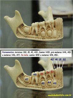 Modelo da dentição mista