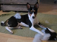 Basenjis enjoy slaying their stuffed toys. My basenji has ripped up all her toys.