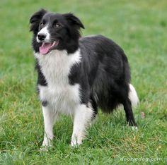 Good Snap Shots Border Collies gris Tips This Edge Collie hails from the borderlands regarding Great britain along with Scotland (hence the particular . Black Dogs Breeds, Dog Breeds, Rough Collie, Collie Dog, Collie Breeds, Family Dogs, Working Dogs, Dog Pictures, I Love Dogs