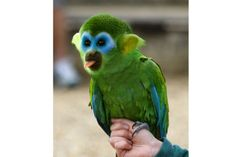Monkey-parrot hybrid