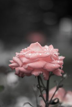 pink rose. water droplets. romantic.