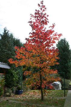Amberbaum 'Oktoberglut' - Liquidambar styraciflua 'Oktoberglut'