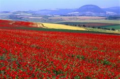 Field of flowers in the North of Israel