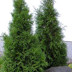 Timanttituija Smaragd - Viherpeukalot