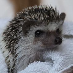 We can't get over how cute baby Luna looks after her first ever bath! 💖 We're thrilled to hear that she loved the soothing suds created by our all-natural Hogwash shampoo. 🛁 Thanks to @lovely_luna_the_hedgehog on IG for sharing her experience with us! ☺️ Pretty Animals, Cute Funny Animals, Cute Baby Animals, Animals Beautiful, Animals And Pets, Hedgehog Cage, Pygmy Hedgehog, Cute Hedgehog, Cute Animal Pictures