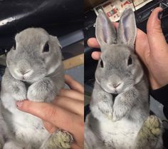 For those who are searching for a furry friend which is not just extremely cute, but very easy to have, then look no further than a pet rabbit. Cute Animal Memes, Funny Animal Pictures, Cute Funny Animals, Cute Dogs, Cute Pictures, Animal Humor, Pet Rabbit, Cute Little Animals, Cute Creatures
