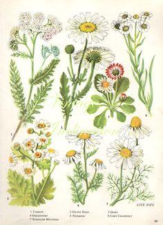 Vintage Botanical Print Antique DAISY plant by VintageInclination