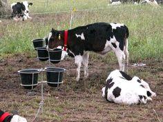 El principal problema de la falta de expresión del potencial genético de la vaca lechera está en la tasa de crecimiento de las terneras y por ende, la edad al primer parto. Este será el eje de la jornada sobre Reproducción en Sistemas Lecheros organi