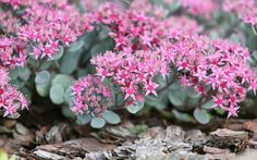 Sedum plants are sometimes called stonecrop and are perfect alpine plants for a rockery. They have succulent leaves and clusters of tiny star-shaped flowers in summer. sedum-causticola-alpine-rock-garden-plants-for-rockery Rockery Garden, Rock Garden Plants, Gravel Garden, Diy Garden, Water Garden, Garden Ideas, Garden Junk, Alpine Garden, Alpine Plants