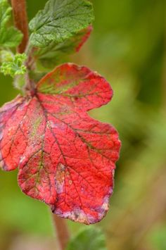 I love the way some leaves change their colours into such vibrant reds. Color Shades, Shades Of Red, Red Color, Colors Of Fire, All The Colors, The Last Leaf, Calming Colors, Red Leaves, Color Inspiration