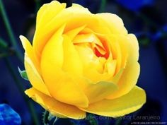 Flores do Meu Jardim.. (Amarelinha..)