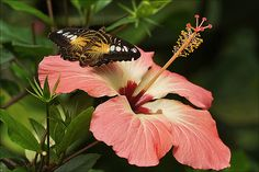 Brown Clipper on a Hibiscus - Photo by Martien Uiterweerd ~ This Brown Clipper Butterfly (Parthenos sylvia philippensis) is at home in the indoor butterfly garden Naturospace in Honfleur in Normandy (France).