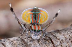L'étonnante danse colorée de l'araignée paon