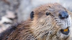 When Beavers Attack: Rabid Rodent Sinks Teeth Into Scoutmaster ...