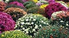 obrázek z archivu ireceptar.cz Garden Mum, Garden Beds, Home And Garden, Potted Mums, Spider Mums, Coral Bells, Pamplona, Seed Starting, Chrysanthemum