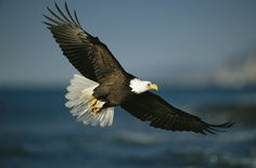 American Bald Eagle In-Flight | Bald Eagle in Flight #2, NG959245 from New York Times Store