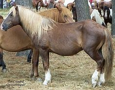 Surfur Dude (Chincoteague stallion) is a black silver (dilution gene) with splash pinto (throws splash pinto foals at times).