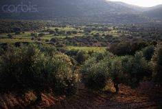 Olive Trees and Vineyards