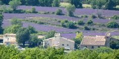 Lavender fields in P